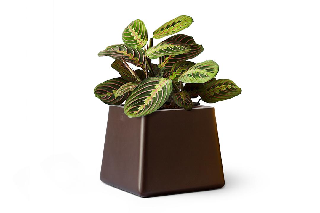 maranta plant planted in a square brown planter