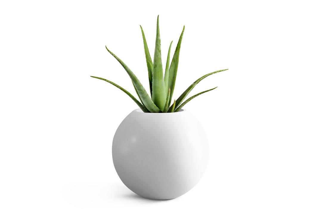 alovera plant planted in white round planter